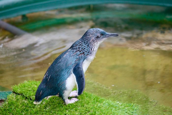 Little Blue Penguin Weymouth Sea Life