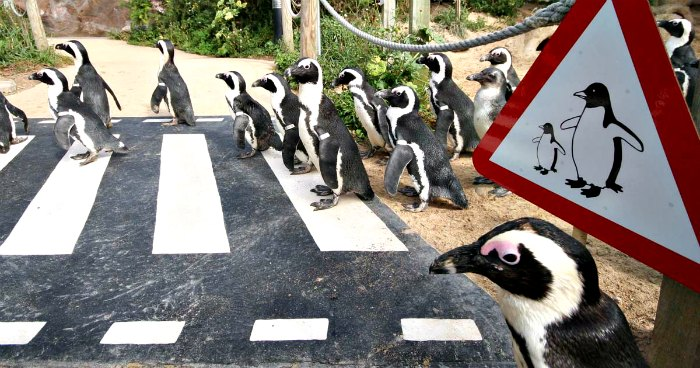 Living-Coasts-penguin-crossing