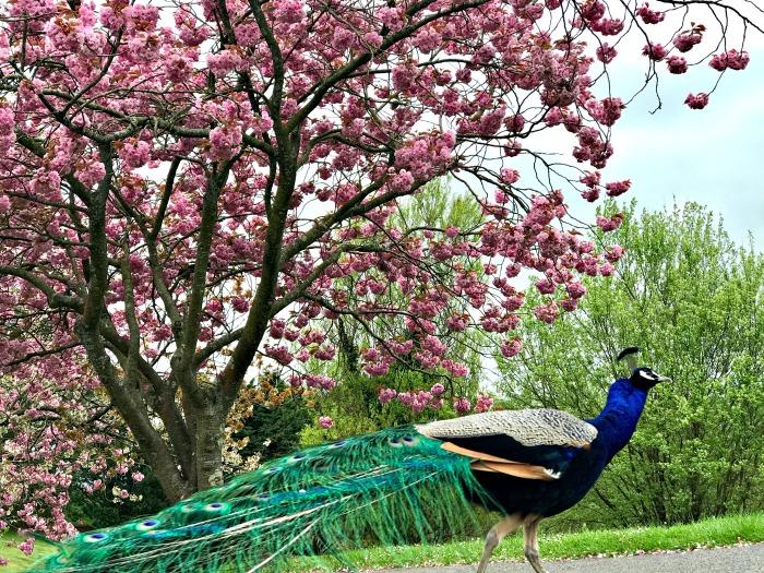 Peacock Blossom