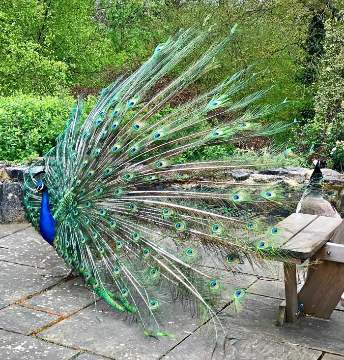 Peacock Robin Hill