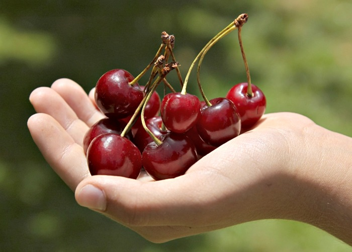 Cherries Palm of Hand