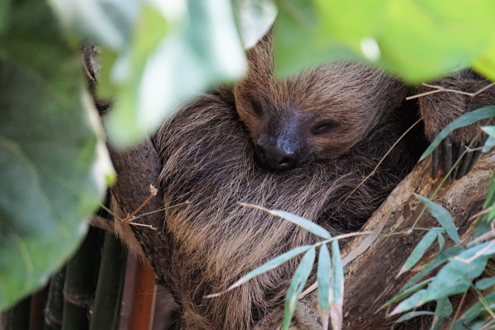Rica - Sloth