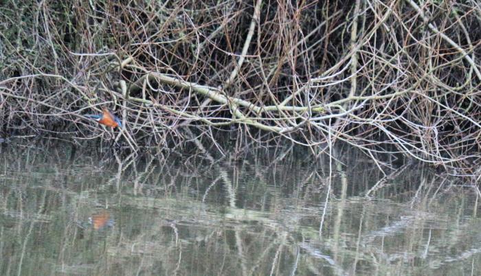 Kingfisher Stour
