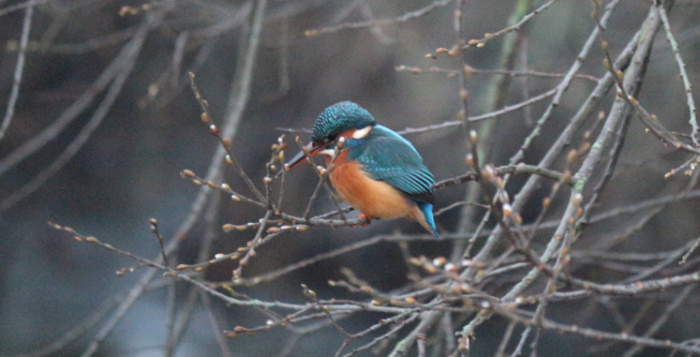 Kingfisher sang