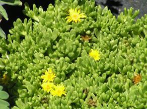 Perennials and wild flowers chelsea nursery delosperma nubigenum hardy yellow iceplant mightylinksfo