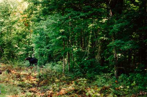 moose on trail in algonquin park wedding venues