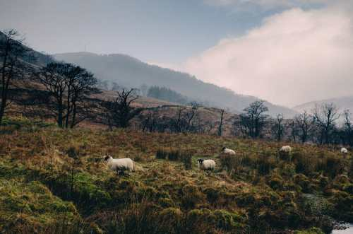 sheep upon the hills in the highlands of scotland