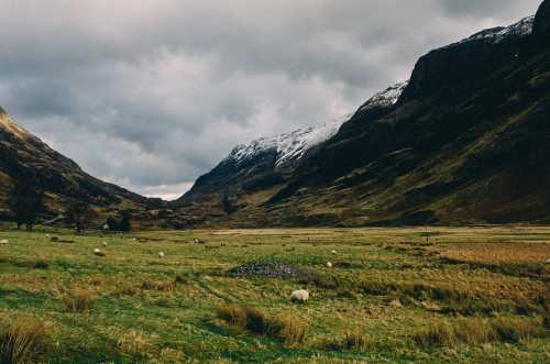 sheeps in glencoe scotland graze
