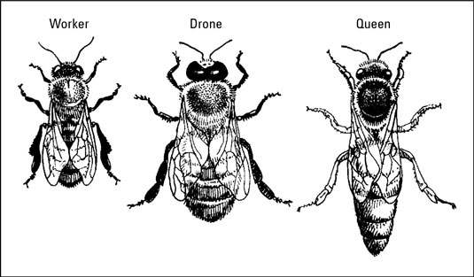 Bee Caste System of a Worker, Drone, and the Queen