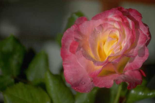 La rose 1