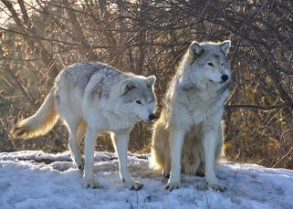 Comment les loups changent les rivières  4