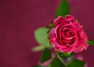 La rose et l'amour (Le Petit Prince) 1
