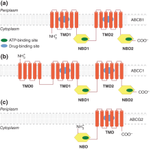 Multidrug resistance: insights into the efflux by ABC transports from in silico studies
