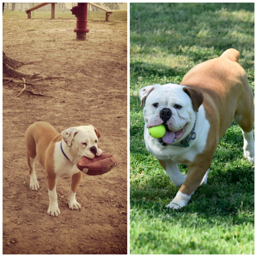Happy 3 years with Ruger the bulldog
