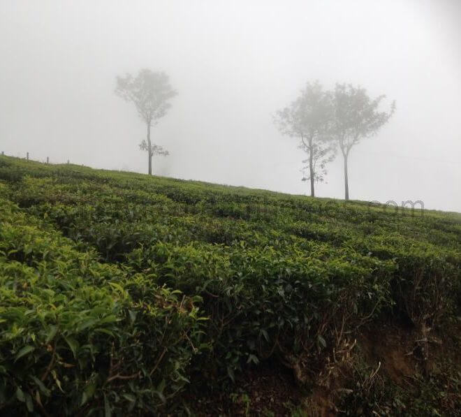 coonoor tea estates
