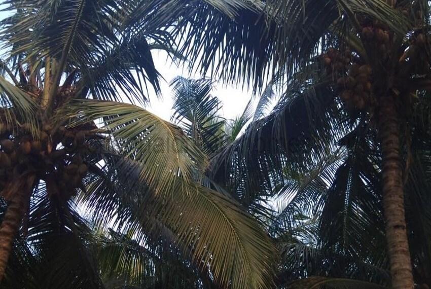 Coconut laden trees