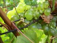 Clos Lanson close up Chardonnay August '11 vendanges