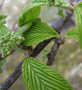 new growth, tender leaves