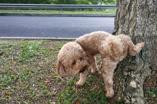 bullies dog peeing on tree marking territory