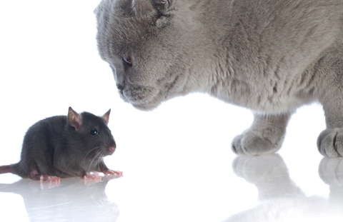 bullying cat mouse