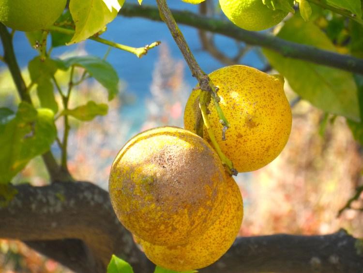 Travel Blog Lemon Tree Parga Greece Perveza fruit SAM_2043