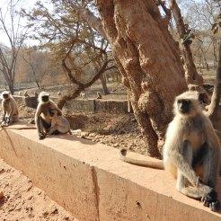 India Ranthambore Safari cherrylsblog.com monkey DSCN9466