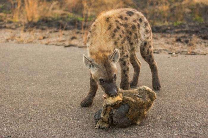 Толпой можно и льва завалить (8 фото)