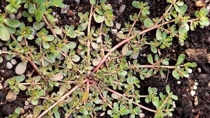 Съедобные растения на случай зомби-апокалипсиса