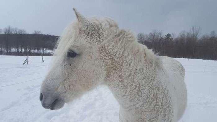 Кудрявые лошади &8211; настоящее чудо природы