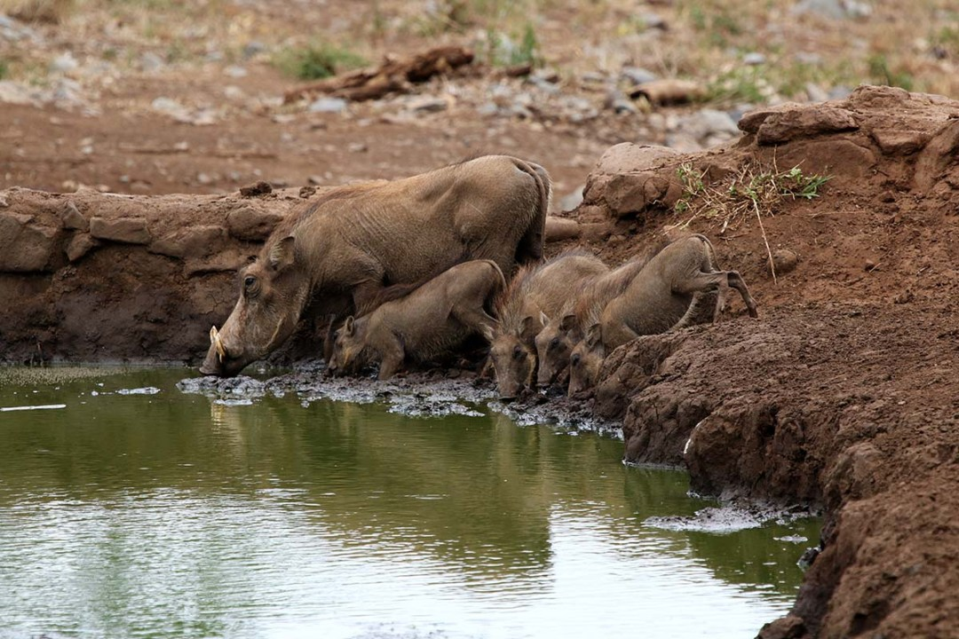 Warthog family drinking from waterhold