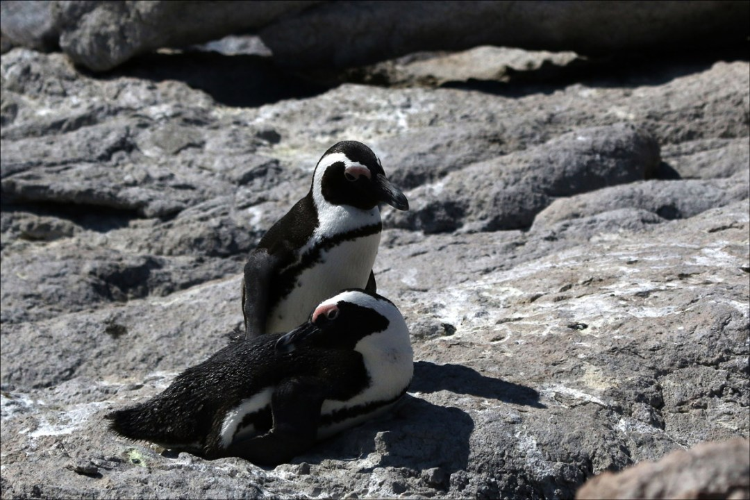 A pair of African Penguins