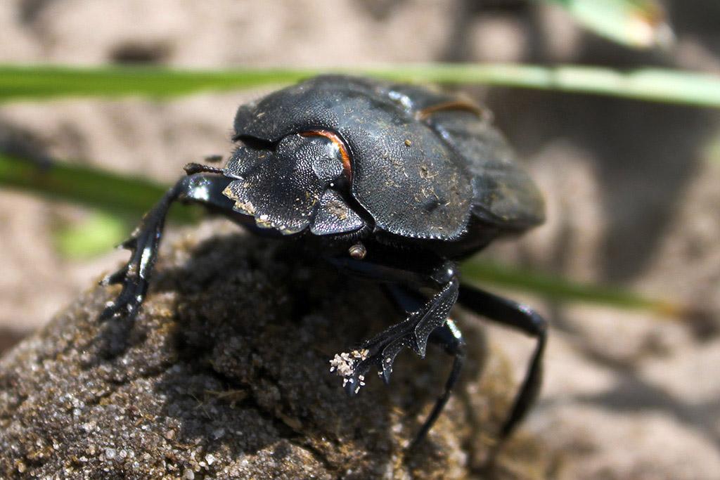 Dung Beetle Weenen Nature Reserve