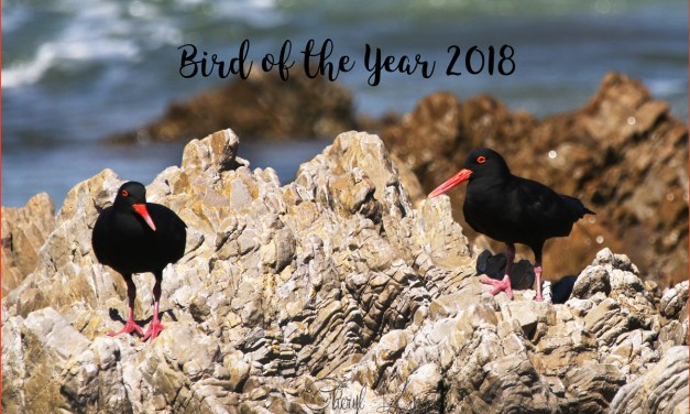 African Black Oystercatcher : Bird of the Year