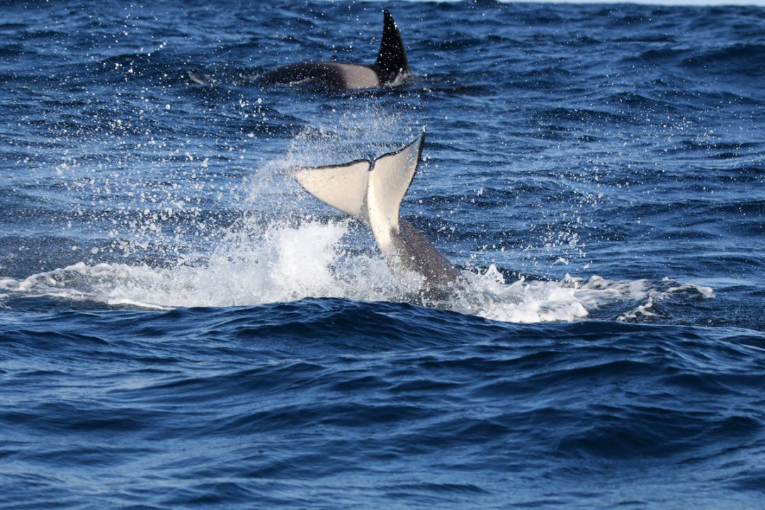 Orca Whale World Oceans Day