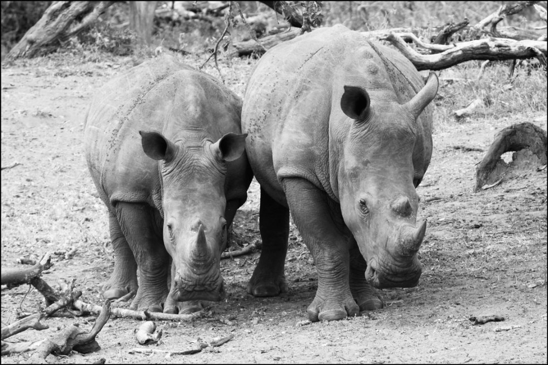 Pair of White Rhino