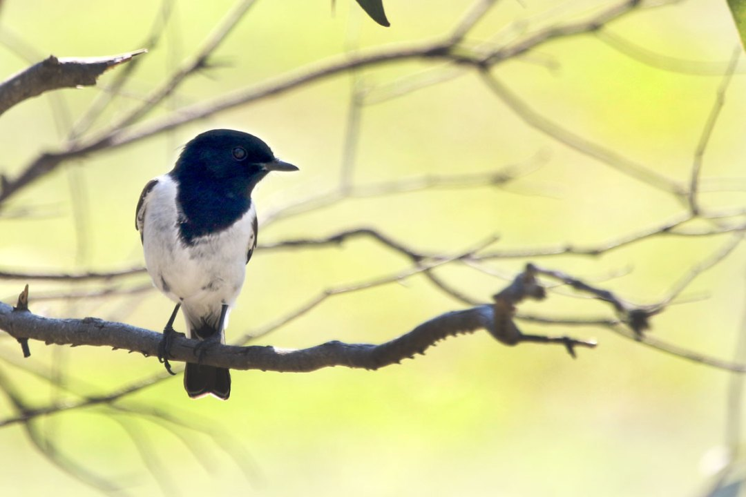 Hooded Robin, Capertee Valley