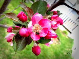 © Clr ' Rougemont apple blossoms