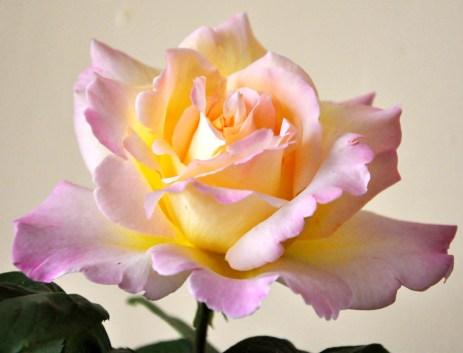 perfect rose web