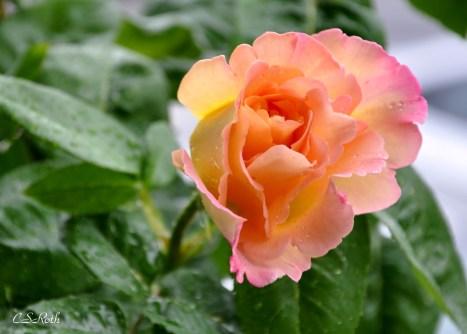 rose close day2