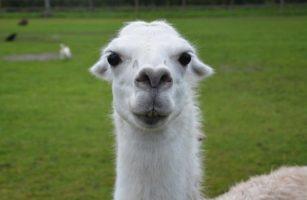 Llama Drama. #AtoZChallenge. www.cherylsterlingbooks.com