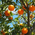 Orange Trees. AtoZChallenge. www.cherylsterlingbooks.com