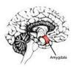 diagram in black and white of amygdala part of brain