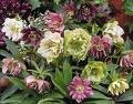 Pink and white helleborus, Lenten rose