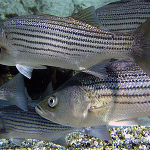 Image result for striped bass fish 300 x 300