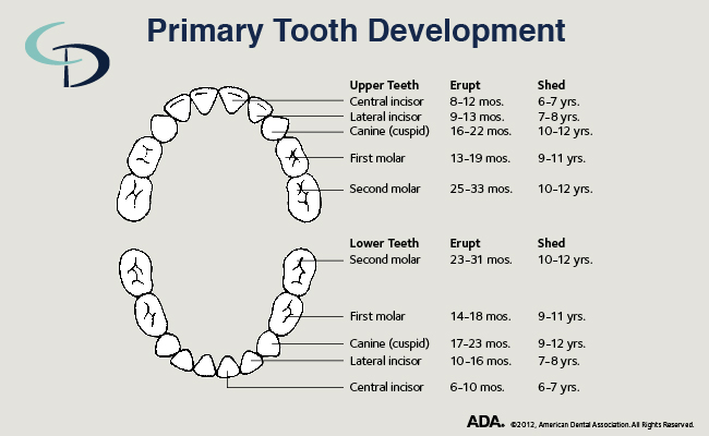 Primary tooth development chart