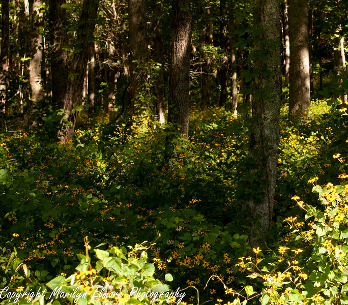 EDGE OF FOREST CARPETED W/BLACK EYED SUSANS