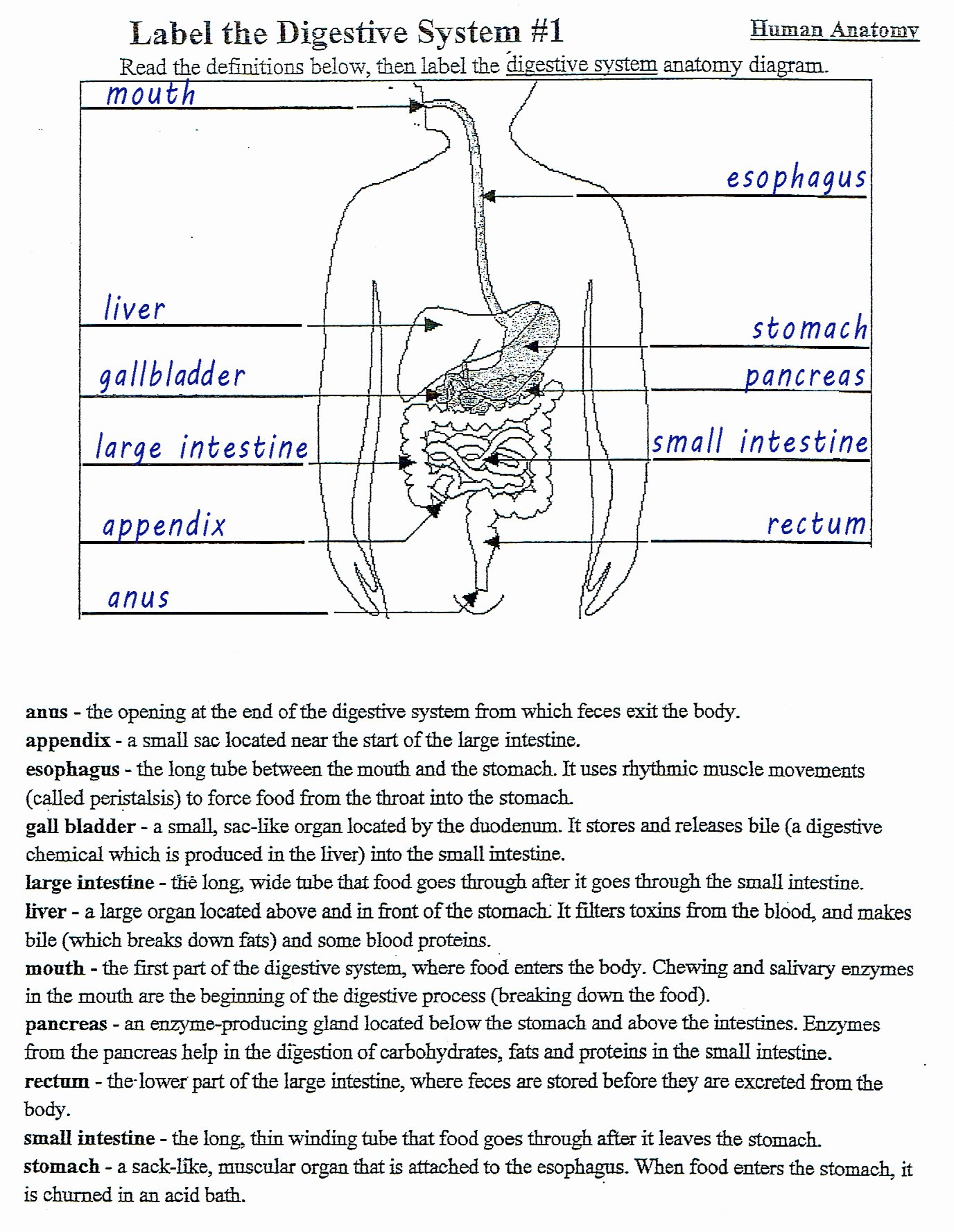 50 Digestive System Worksheet Answer Key