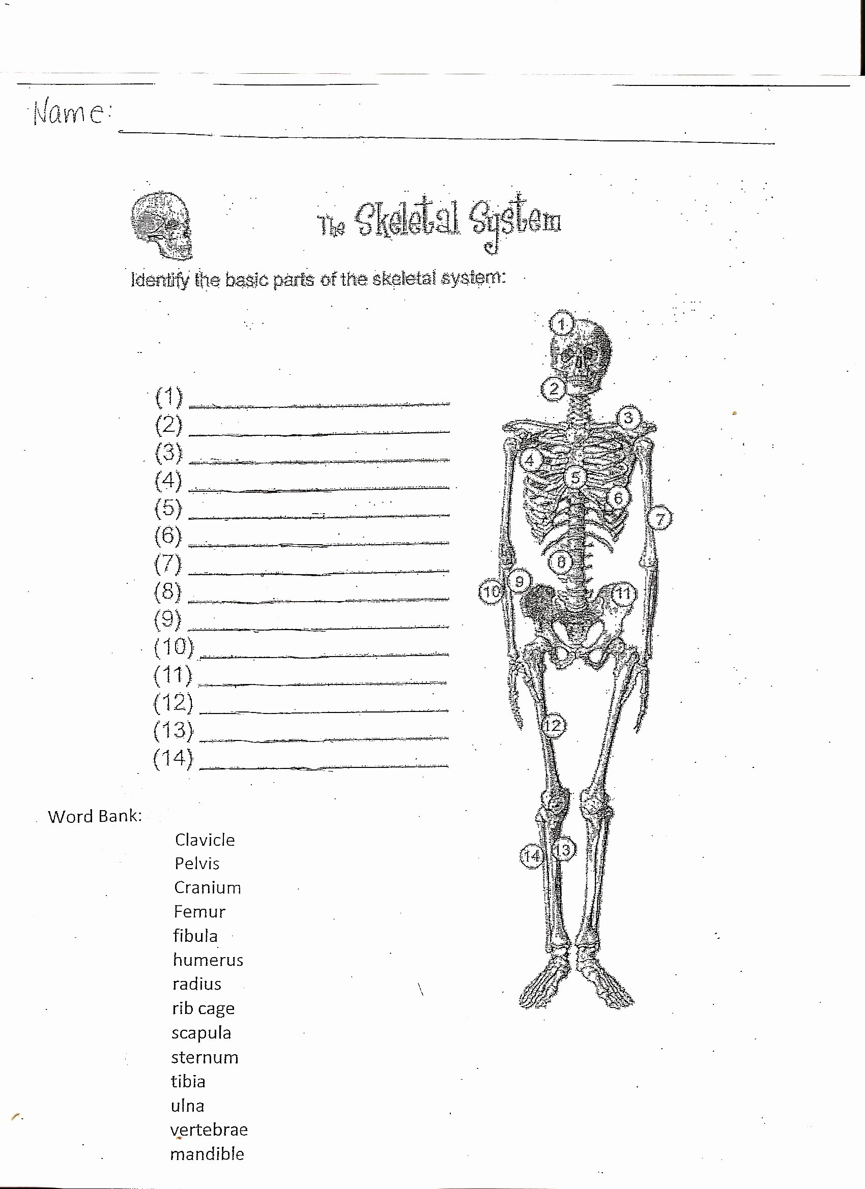 50 The Skeletal System Worksheet