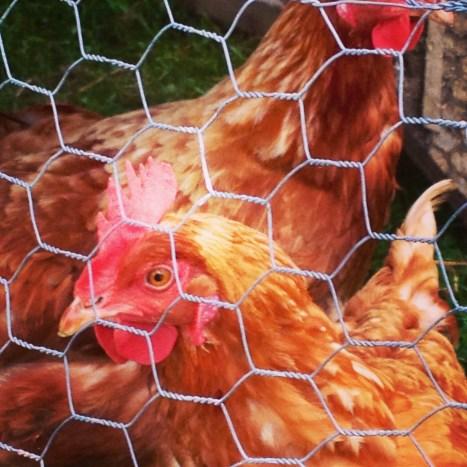 cluck2