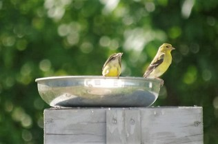 These American Goldfinches like to have their water a little higher up
